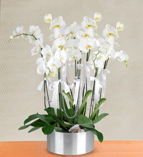 Beyaz Orkide 8 Dallı