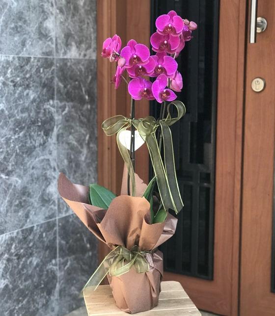 İthal 2 li Mor Orkide